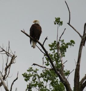 Bald Eagle over Mississippi River