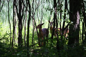 Two fawns on the Hidden Ponds Nature Trail